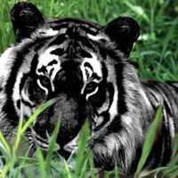 opposite of albinism is melanism. this tiger with melanism is Majestic Animals, Rare Animals, Animals And Pets, Wild Animals, Strange Animals, Big Cats, Cats And Kittens, Cute Cats, Cats Bus