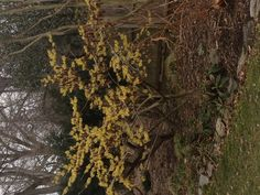 Witch hazel blooming march 3rd in chestnut hill.