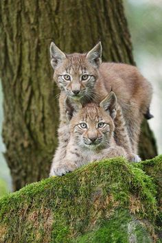 ~~two Lynx cubs by naturphotos.net~~
