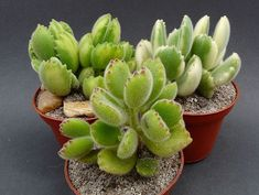 Growing Succulents, Cacti And Succulents, Planting Succulents, Cactus Identification, Cactus Types, California Garden, Plant Aesthetic, Dish Garden, Miniature Plants