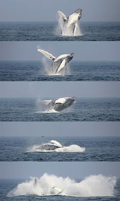 humpback whale - jump (photography by martin wattke)