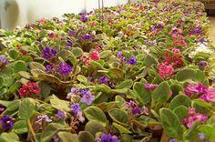 Violetas são flores lindas, mas que demandam um pouco de cuidado, principalmente com suas folhas, para que elas não desenvolvam fungos que comprometam o seu florescimento. Para ajudar você neste tarefa, separamos algumas dicas básicas que podem garantir a saúde das suas flores! Vamos começar pelo começo, como plantar sua violeta. Os vasinhos plásticos podem …