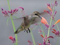 Hummingbird - Agastache 'Licorice Mint' by dziegler, via Flickr
