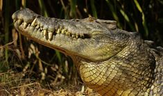 """Adult saltwater crocodile lifts its head to smell the air. """"They essentially use their throats to pump air in and out of the nostrils to have a quick sniff; it's called a 'gular pump'"""