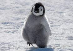An emperor penguin chick on a mission, only inhabiting Antarctica, and though this one may be small now, it will grow to become the tallest and heaviest of all penguin species Penguin Love, Cute Penguins, Cute Baby Animals, Funny Animals, Penguin Species, Photo Animaliere, Seal Pup, Animal Photography, Pet Birds
