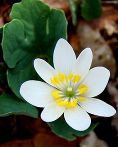 Blood Root: This little white flower is very effective in low doses when treating respiratory problems. It can be made into a paste when mixed with other compounds and applied on the skin to treat rashes, warts and various dermic problems. When ingested as a tea or tonic, bloodroot is very effective in cleansing the blood and lowering fevers.