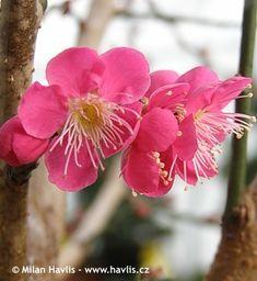 Prunus mume  (syn. Beni-chidori)