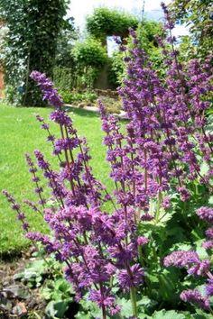 Salvia verticillata 'Purple Rain' - Kranssalie