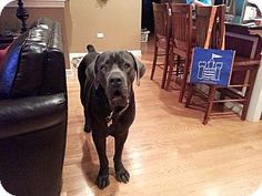 Como, MS - Cane Corso. Meet Cain, a dog for adoption. http://www.adoptapet.com/pet/13649205-como-mississippi-cane-corso