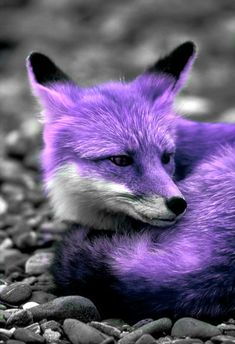 i totally want a purple fox!!