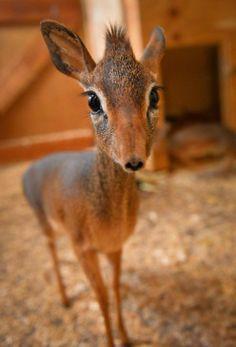 В Честерском зоопарке маленькая антилопа дикдик воспитывает младшего брата, отвергнутого матерью - http://zoovestnik.ru/2013/12/16338/