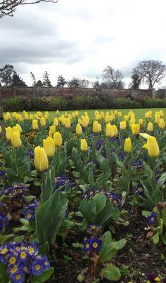 Yellow Tulips at Powerscourt Gardens, Ireland www.powerscourt.ie