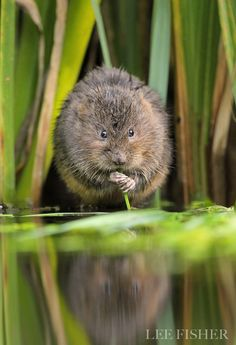 Water Vole By Lee Fisher On 500px