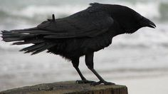Crows are one of the birds in whom West Nile virus replicates very quickly; researchers think if people can introduce more birds who don't foster the disease in that way, it wouldn't spread as effectively.