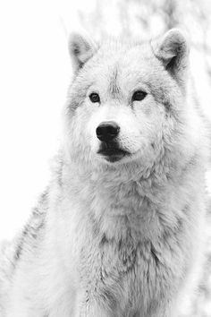 for some reason this makes me think of my dog right before she faceplants in the snow. Arctic Animals, Nature Animals, Animals And Pets, Cute Animals, Arctic Wolf, Beautiful Creatures, Animals Beautiful, Howl At The Moon, Wolf Love
