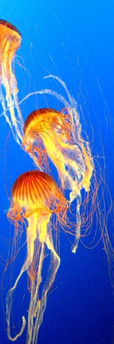 Aquarium/ Debussy/ jellies   (haiku by susan)