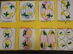 Mitosis demonstration with pipe cleaners and beads homeschool mitosis model with pipe cleaners ccuart Images