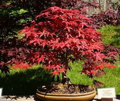 Kochia Trichophylla, also known as Burning Bush, grows from flower seeds and turns brilliant red in fall. kochia scoparia seeds can be started indoors or outdoors. Fruit Tree Garden, Bonsai, Palm Trees Wallpaper, Bonsai Tree, Burning Bush, Flower Garden, Olive Trees Garden, Flower Seeds, Red Maple Tree