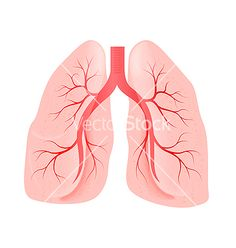 Lungs of the person vector 913775 - by Stockerteam on VectorStock®