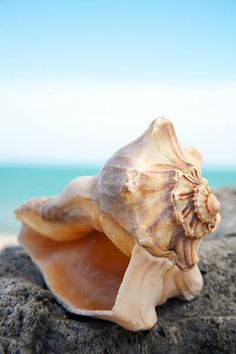 Beach Pictures, Colorful Pictures, Seaside Holidays, Shell Shock, Seashell Art, Nautilus, Photomontage, Sea Creatures, Sea Shells