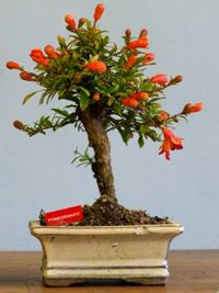 Pomegranate_bonsai..flowers