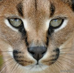 Caracal portrait by JenvanW on Flickr.