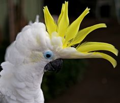Parrot Sulpher Crested Cockatoo