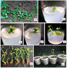 In vitro Propagation of Rubia cordifolia Linn., A Medicinal Plant of the Western Ghats