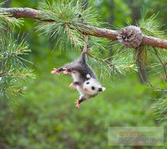 Adult opossums do not hang from trees by their tails, as sometimes depicted, although babies may hang briefly while climbing. ~ Possum Possee