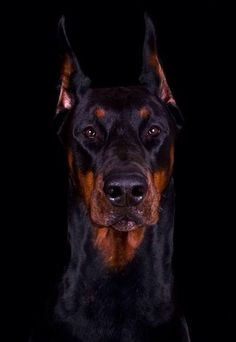 Majestic. #doberman-From Wiki-originally developed by Karl Friedrich Louis Doberman, tax collector from Germany, large, short coat, compact, athletic w/endurance and speed, proud, watchful,determined, obedient, once use as guard/police dog, now less common, tail/ear docking illegal in some countries, even, good natured temperament, loyal, intelligent, very trainable, fearless, can be stranger aggressive depending on situation-live 10-11 years