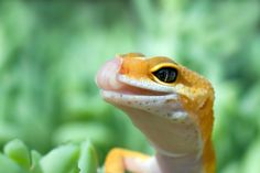 gecko | gecko - photo/picture definition at Photo Dictionary - leopard gecko ...