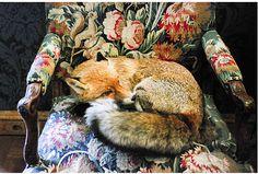 fox on armchair