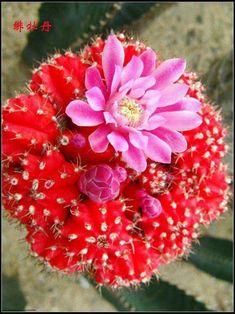Flor de cactus 🌵