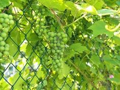 Grow Grapes on a Chain Link Fence