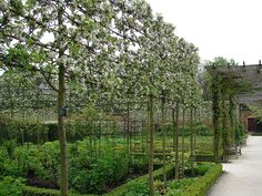 Pleached crab apples courtyard or no. 3 side