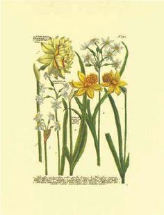 Botanica - Narcisus