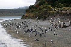 Penguins in Ushuaia, Argentina