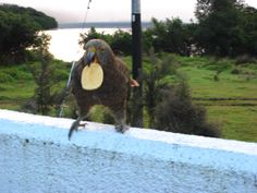 This Kea had just stolen a potato chil off my plate, and flew about three feet away to enjoy his prize.