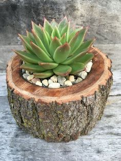 Succulent in a Natural Wood Planter