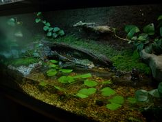 My redesigned Fire bellied toad setup