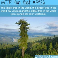 Tallest tree in the world - WTF fun facts - Liesel Palitzsch Wtf Fun Facts, Funny Facts, Strange Facts, Random Facts, Random Trivia, Crazy Facts, Did You Know Facts, Things To Know, Places To Travel