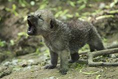 Howling arctic wolf cub