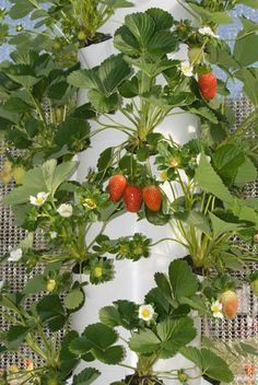 """For those of us living in warmer climates October/November is the perfect time to plant strawberries in our Tower Gardens.... order """"bare root"""" strawberries so you don't have to wait 2 years for your delicious berries."""