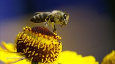 Minnesota lawmakers consider banning neonicotinoid pesticides decimating bees and the environment