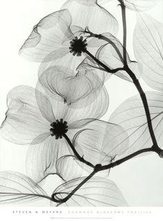 Dogwood Blossoms - Steven N. Meyers