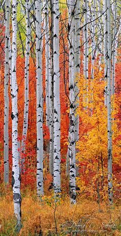 Seasonal Love: birch trees with brilliantly colored orange and yellow leaves