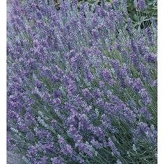 Monrovia 2.5-Quart English Lavender (L6071)