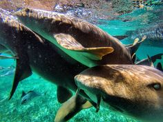 Up Close and Personal With Sharks At Hol Chan Marine Reserve..Near Ambergris Caye . . . #belize #ambergris #caye #shark #ray #alley #blue #water #caribbean #central #america #adventure #wildlife #coral #reefs #wanderlust #danakedbloggers #saltlife #gopro #underwater #travelmore #traveljunkie #traveldeeper #exploringtheglobe #travelfar #travelourplanet #livetravelchannel #worldlust #passionpassport
