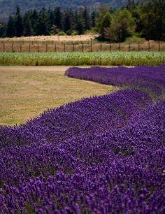 Sequim, WA lavender farm.