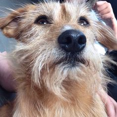 My dog cuddles Cute airdail terrier mix Terrier Mix, Terriers, Dog Cuddles, Jack Russell Terrier, Cuddling, Cute Animals, Friends, Dogs, Physical Intimacy
